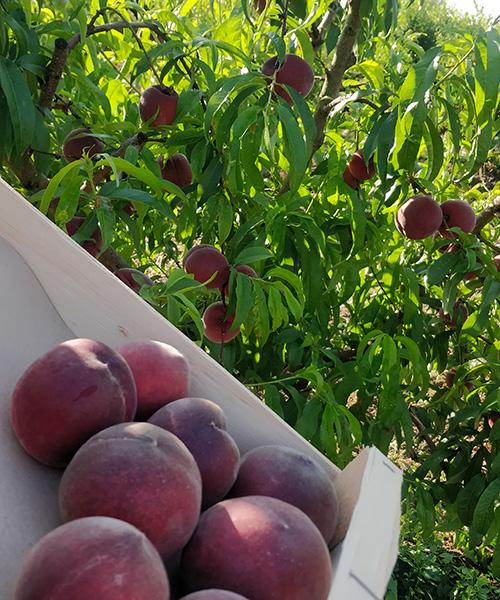 Vente directe et recolte de fruits et légumes Tarn et Garonne