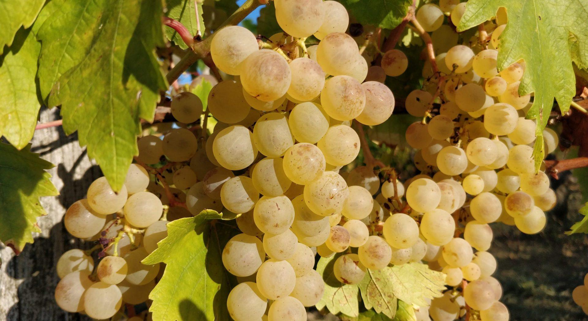 vente-directe-raisins-des-garennettes-tarn-et-garonne